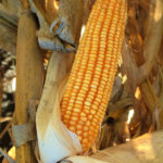 champaign-co-douglas-co-illinois-farm-land-auction-sale-corn-crop