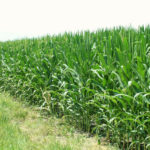 west-central-illinois-tillable-farmland-92-acres-cornfield