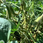 Livingston Co. IL 158 Acre Public Auction Soybeans