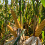 Polk 233 Corn Ears